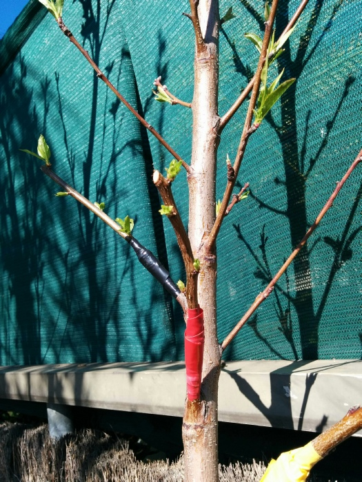 Grafting peach trees stone fruit