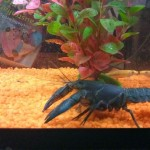 How to catch, feed and breed yabbies